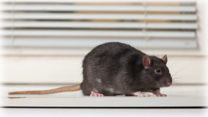 Ailing House - Rat - Mice Exterminator - Monterey County CA