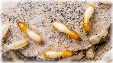 Termite Control Service Carmel CA - Ailing House Pest Management Inc.- Picture of Termite