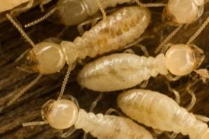 Termite Pest Control Service Inspection Carmel CA - Ailing House Pest Management