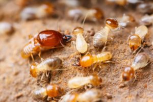 Termite Exterminator near me in Salians CA - Ailing House Pest Management